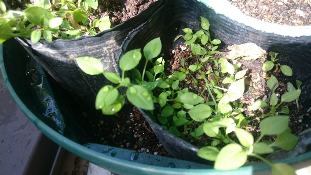 2月中旬のハコベ苗の様子(ぶんた式重ね栽培術)
