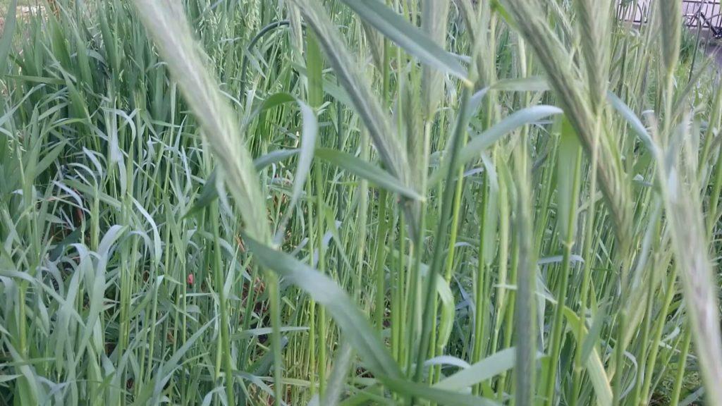 4月3日現在のライ麦