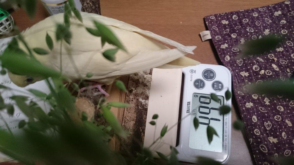 生穂を食べる我が家のサザナミインコ、りんちゃん