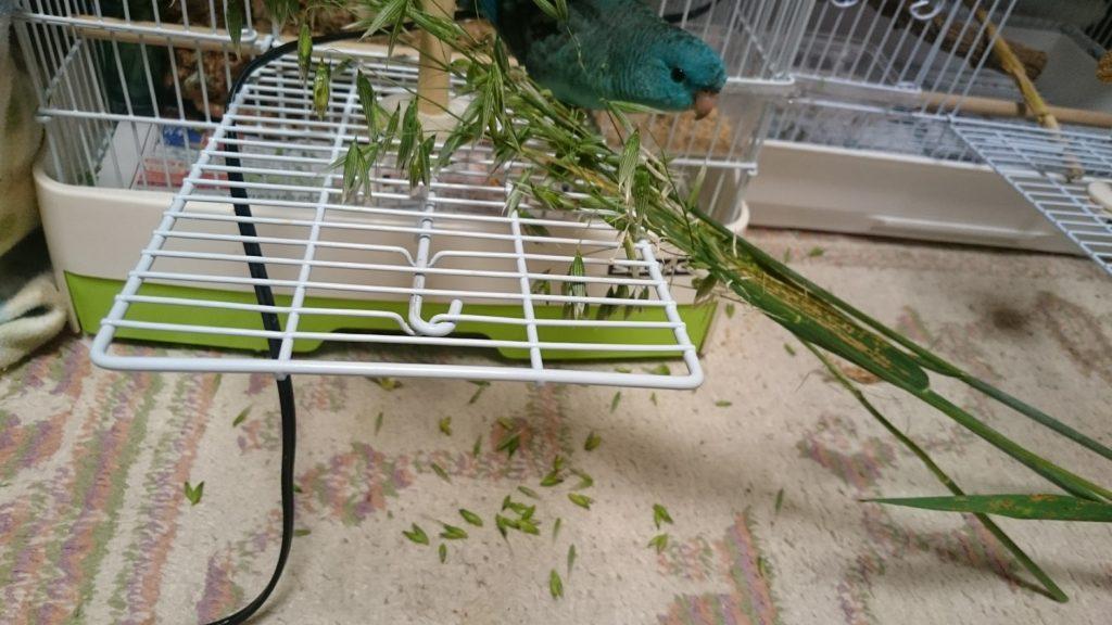 我が家のサザナミインコ、モギが生オーツ麦の実をほぐしている
