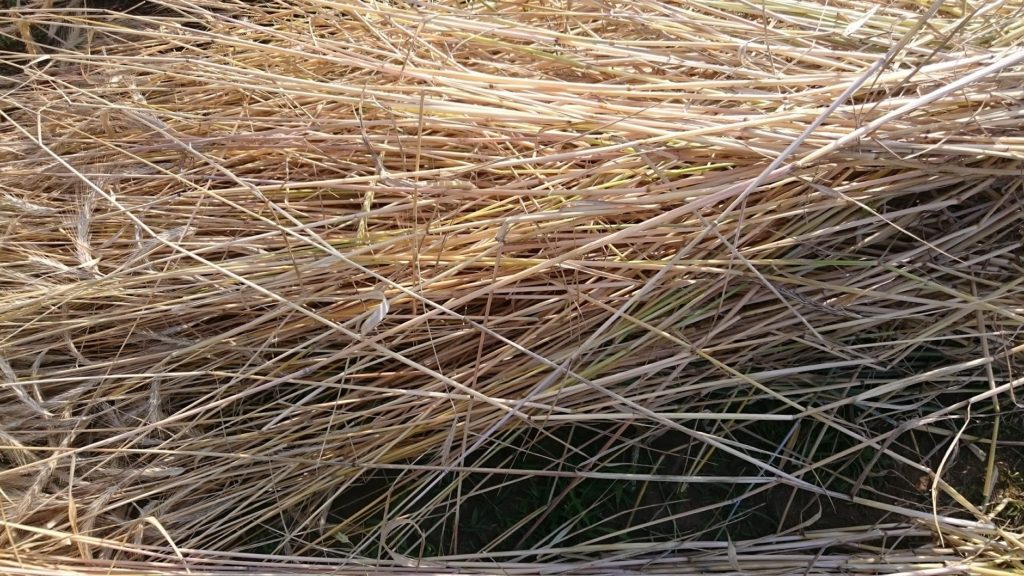収穫したてのライ麦