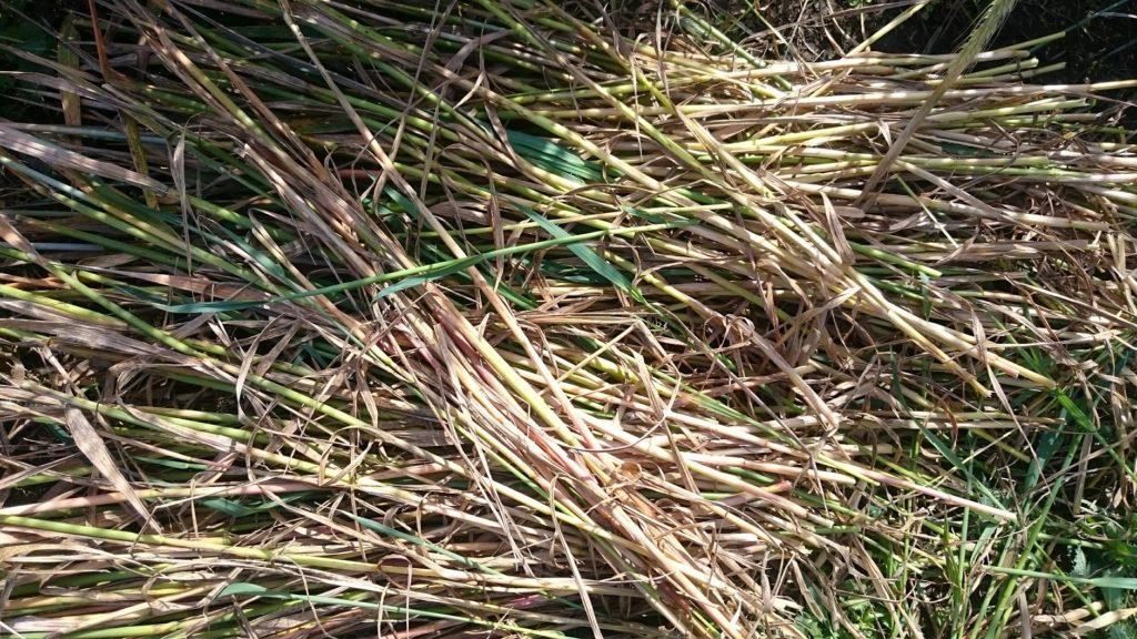 刈り取ったオーツ麦の茎