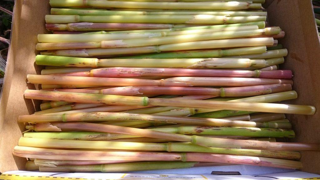 オーツ麦の生茎
