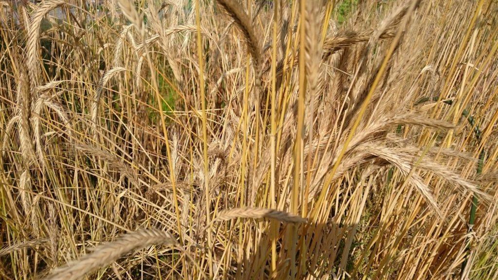 収穫時期を迎えたライ麦