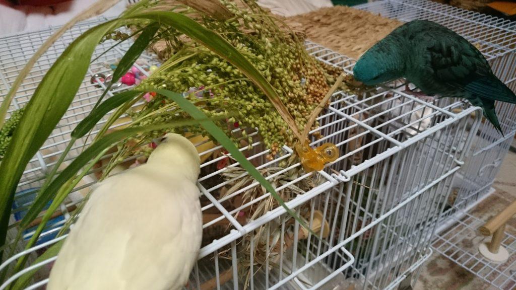 キビの穂を食べている我が家のサザナミインコたち