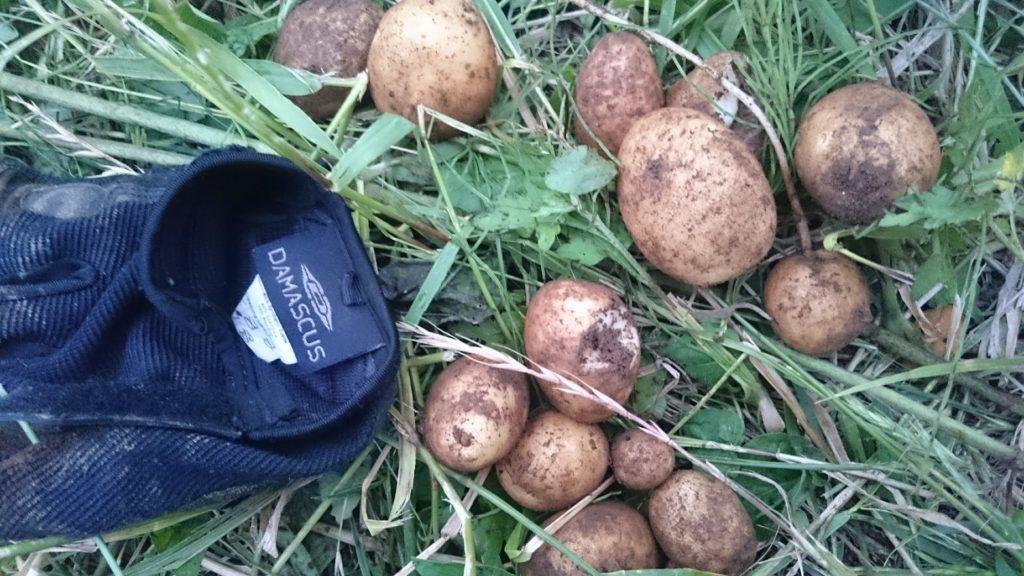 自然農法のジャガイモ