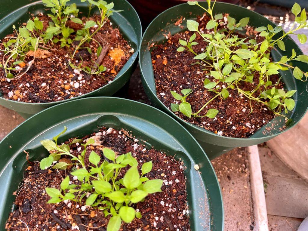 オーガニック培養土を使用しているハコベの苗