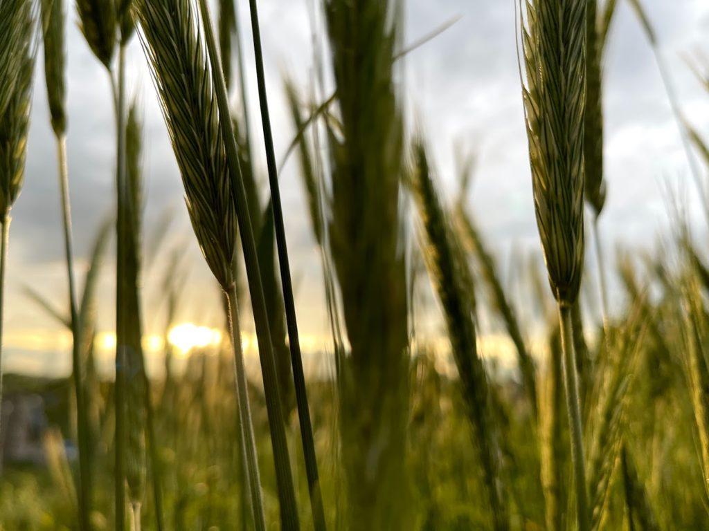 夕日を浴びたライ麦の穂
