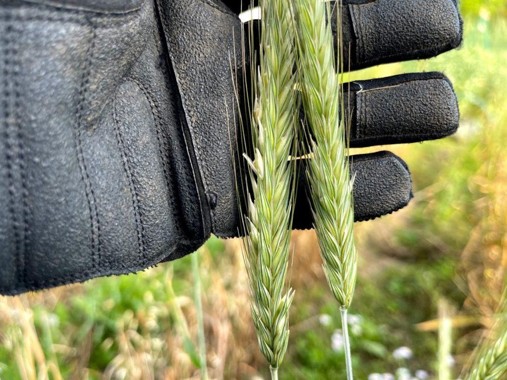 実が膨らみ始めたライ麦の穂